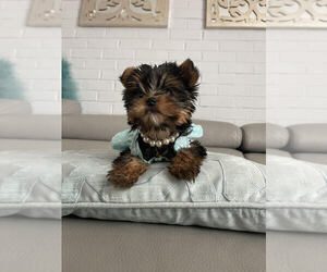 Yorkshire Terrier Puppy for sale in BUFFALO GROVE, IL, USA