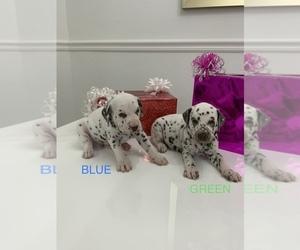 Dalmatian Puppy for sale in TAMPA, FL, USA