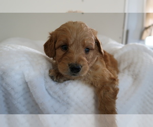 Goldendoodle Puppy for sale in ANN ARBOR, MI, USA