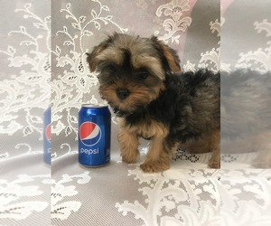 Yorkshire Terrier Puppy for Sale in STKN, California USA