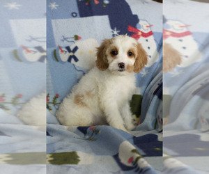 Cavapoo Puppy for sale in MILWAUKEE, WI, USA