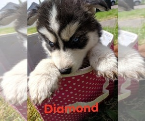 Siberian Husky Puppy for sale in SALEM, OR, USA