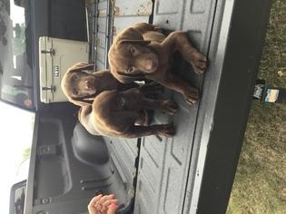 Labrador Retriever Puppy For Sale in LANGLEY, OK, USA