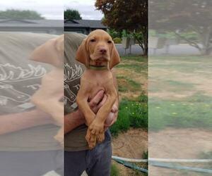 Vizsla Puppy for Sale in SAINT HELENS, Oregon USA