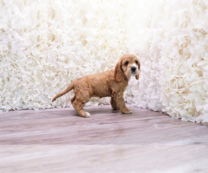 Cocker Spaniel Puppy for sale in FULLERTON, CA, USA