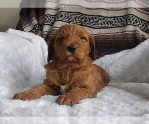 Goldendoodle Puppy for sale in CLARE, MI, USA