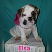 English Bulldogge Puppy For Sale in LAKELAND, FL,