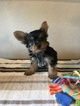 Yorkshire Terrier Puppy For Sale in KATY, TX, USA
