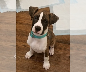 Boxer Puppy for Sale in OAKLAND, California USA