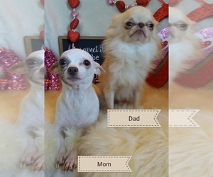 Mother of the Chihuahua puppies born on 12/12/2019