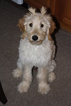 Goldendoodle Puppy For Sale in BELLVILLE, OH