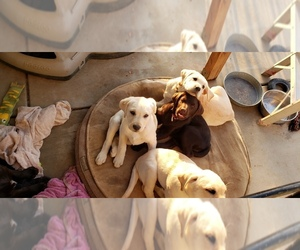 Labrador Retriever Puppy for Sale in ANZA, California USA