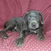 Cane Corso Puppy For Sale near 17527, Gap, PA, USA