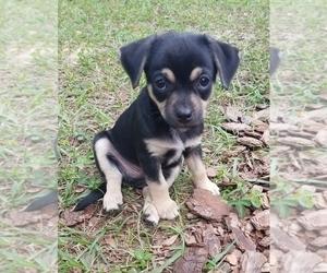 Chi-Corgi-Unknown Mix Puppy for sale in GAINESVILLE, FL, USA