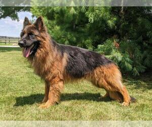 Father of the German Shepherd Dog puppies born on 07/22/2021