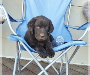 Labrador Retriever Puppy for sale in SANTA CLARITA, CA, USA