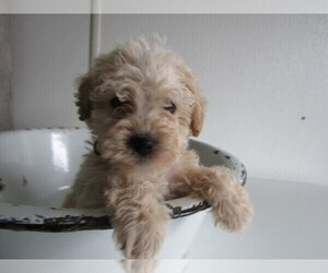 Poodle (Toy)-Schnauzer (Miniature) Mix Puppy for sale in FORT WAYNE, IN, USA