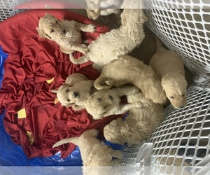 Goldendoodle Puppy for sale in WILLISTON, FL, USA