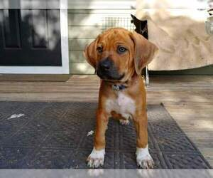 Rhodesian Ridgeback Puppy for Sale in NEW SMYRNA, Florida USA