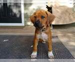 Rhodesian Ridgeback Puppy For Sale in NEW SMYRNA, FL, USA
