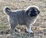 Puppy 3 Anatolian Shepherd