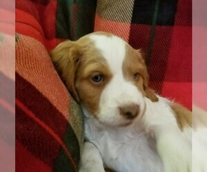 Brittany Puppy for Sale in TONOPAH, Nevada USA