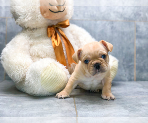 French Bulldog Puppy for sale in CLEVELAND, NC, USA