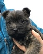 Cairn Terrier Puppy For Sale in BIRKENFELD, OR, USA