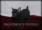 Fox Terrier (Toy)-Schipperke Mix Puppy For Sale in WAYLAND, IA, USA