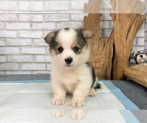 Pembroke Welsh Corgi Dog for Adoption in SEATTLE, Washington USA
