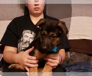 German Shepherd Dog Puppy for sale in EAGLE GROVE, IA, USA