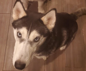 Mother of the Siberian Husky puppies born on 05/16/2021
