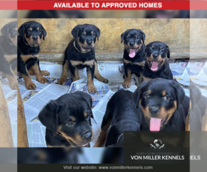Rottweiler Puppy for sale in MUNDELEIN, IL, USA