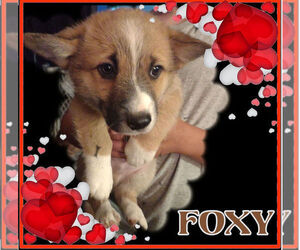 Pembroke Welsh Corgi Puppy for sale in GALLEGOS, NM, USA