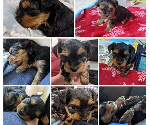 Yorkshire Terrier Puppy for sale in EAST LAYTON, UT, USA