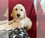 Image preview for Ad Listing. Nickname: labradoodle f1