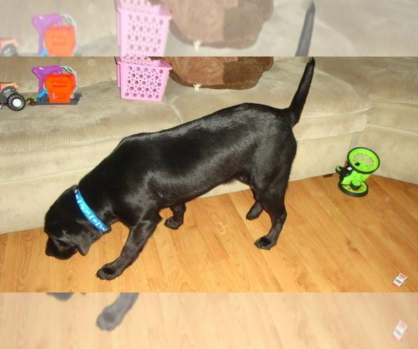 Medium Photo #2 Labrador Retriever Puppy For Sale in BARABOO, WI, USA