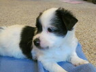 Miniature Australian Shepherd Puppy For Sale in CHRISTIANA, DE, USA