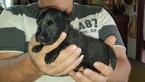 Puppy 5 Scottish Terrier