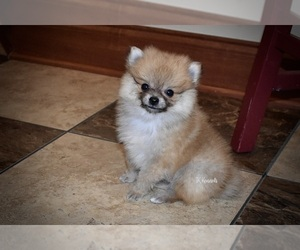 Pomeranian Puppy for Sale in GRAYSON, Louisiana USA