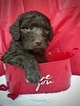 Labradoodle Puppy For Sale in BERKELEY SPGS, WV, USA