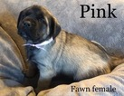Small Photo #7 Mastiff Puppy For Sale in MANSFIELD, OH, USA