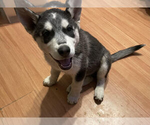 Siberian Husky Puppy for sale in BONANZA, OR, USA