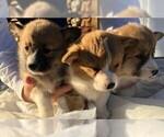 Pembroke Welsh Corgi Puppys