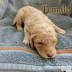 Labradoodle Puppy For Sale in GREELEY, CO, USA