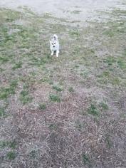 Alaskan Klee Kai Puppy For Sale in BRANDYWINE, MD