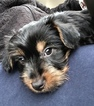 3 month old yorkie for sale