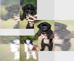 YorkiePoo Puppy for Sale in GODWIN, North Carolina USA