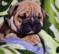 Bulldog Puppy For Sale in QUARRYVILLE, PA, USA