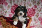 Bernedoodle Puppy For Sale in CUYAHOGA FALLS, OH, USA